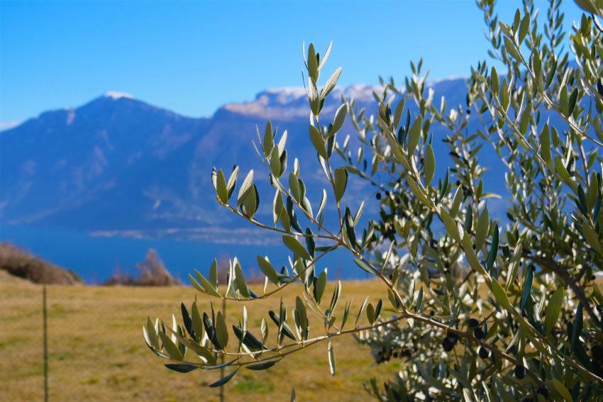 Dettaglio olivo - Casa Nr.1
