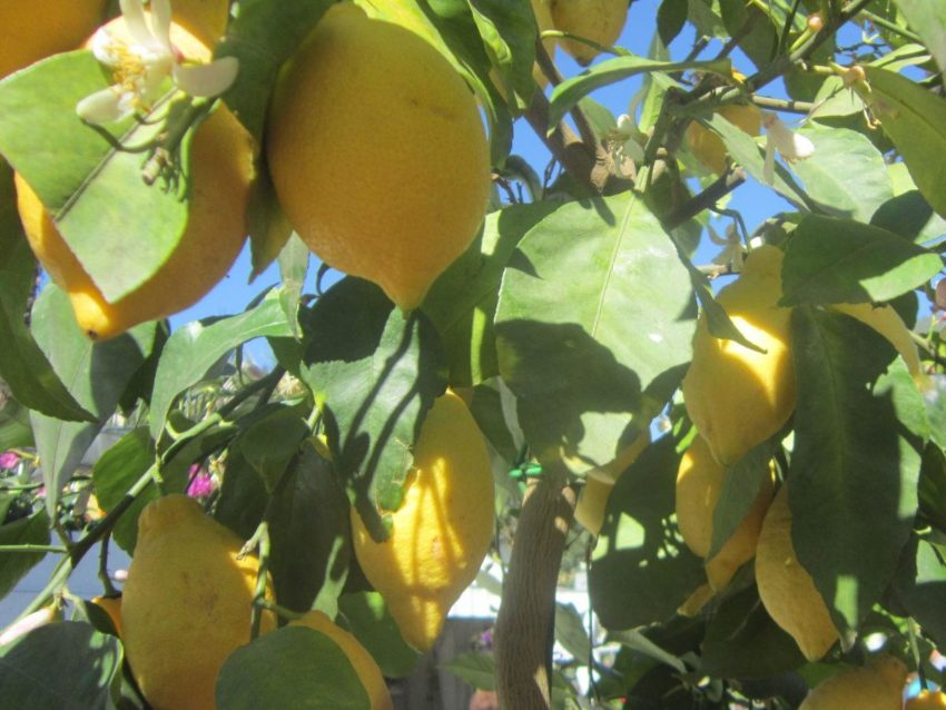 Pianta di limoni - Casa Birti