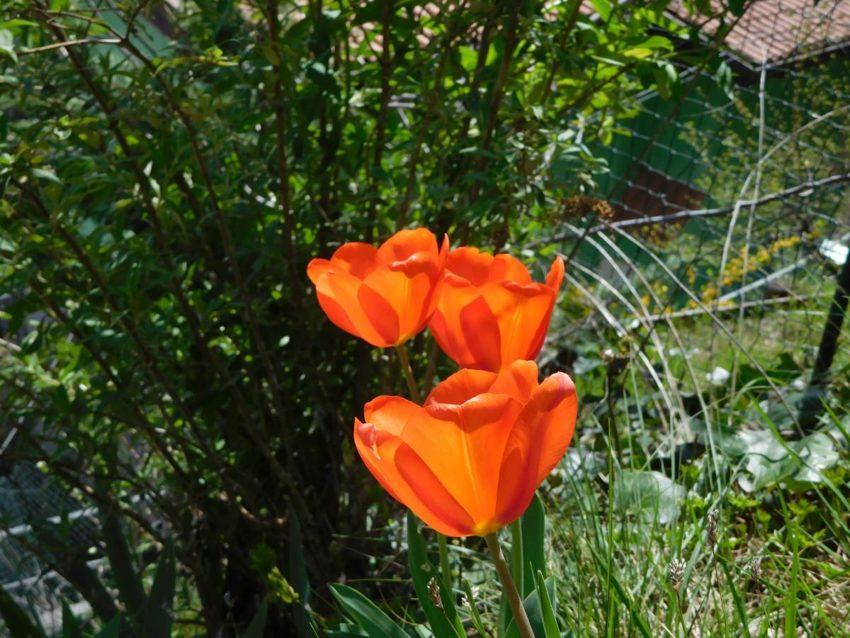 Tulpen - Fewo Belvedere